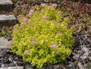 Spiraea japonica ´Golden Princess´ 227