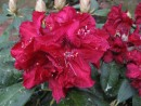 Rhododendron ´Henry´s Red´ 20070506 044
