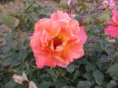 Rosa ´Westerland´ 20030712 57