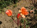 Rosa ´Westerland´ 20030712 47
