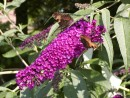 Buddleia davidii ´Nahno Purple´ 006