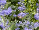 Caryopteris clandonensis ´Heavenly Blue´ 124