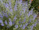 Caryopteris clandonensis ´Heavenly Blue´ 125