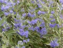 Caryopteris clandonensis ´Heavenly Blue´ 127