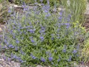 Caryopteris clandonensis ´Heavenly Blue´ 112
