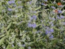 Caryopteris clandonensis ´Heavenly Blue´ 066