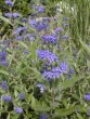Caryopteris clandonensis ´Heavenly Blue´ 113