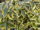 Eleagnus ebbingei ´Gilt Edge´ 20040827 175