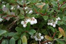 Gaultheria miqueliana 20090822 019