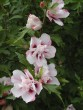 Hibiscus syriacus ´Lady Stanley´