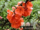 Chaenomeles ´Rouge Orange´