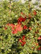 Pyracantha coccinea ´Red Column´ 139