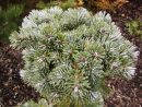 Abies veitchii ´Rumburk WB´ 20061025 072