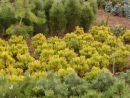Pinus mugo ´Winter Gold´ 20061025 015
