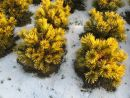 Pinus mugo ´Winter Gold´ 20061230 005