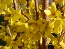 Forsythia intermedia ´Lynwood Gold´ 20030421 048