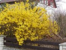 Forsythia x intermedia 20050415 018