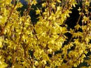 Forsythia intermedia ´Lynwood Gold´ 20030421 47